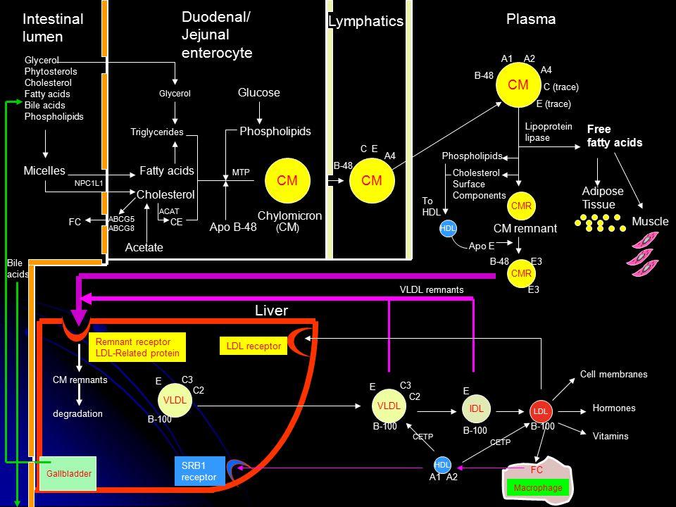Intestinal lumen Duodenal/ Jejunal enterocyte Lymphatics Plasma Liver