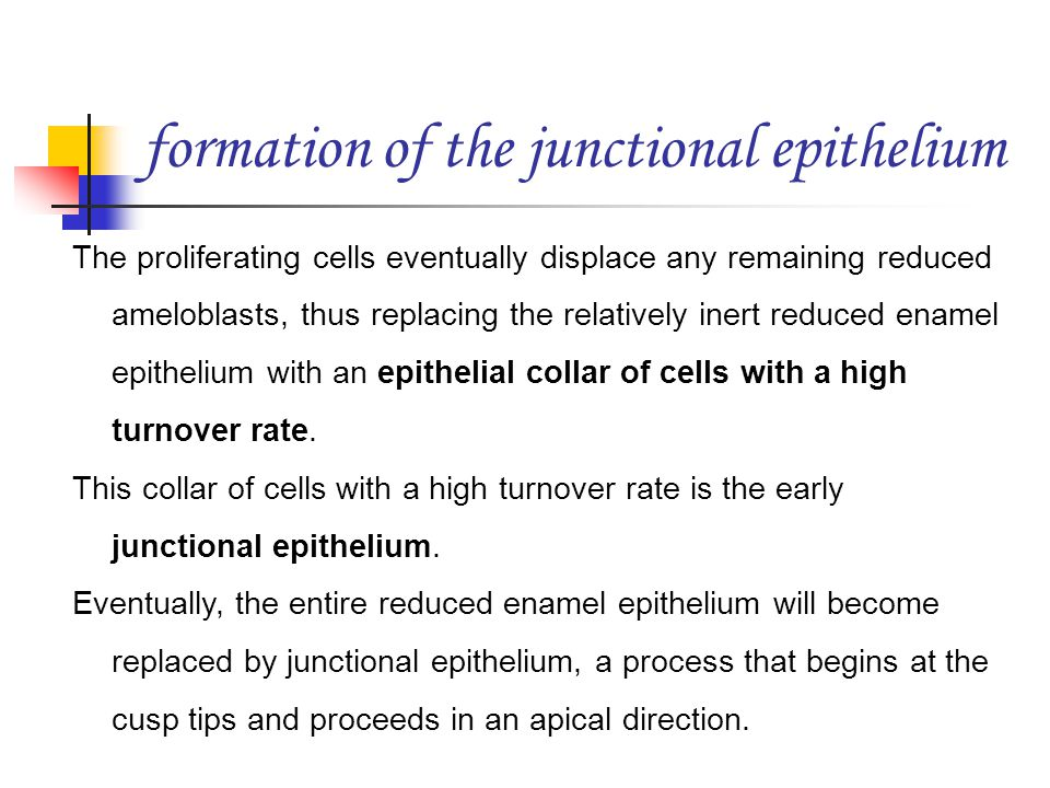 formation of the junctional epithelium