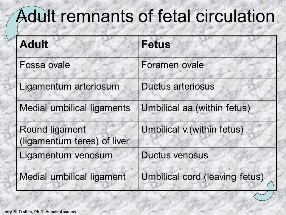 Adult remnants of fetal circulation