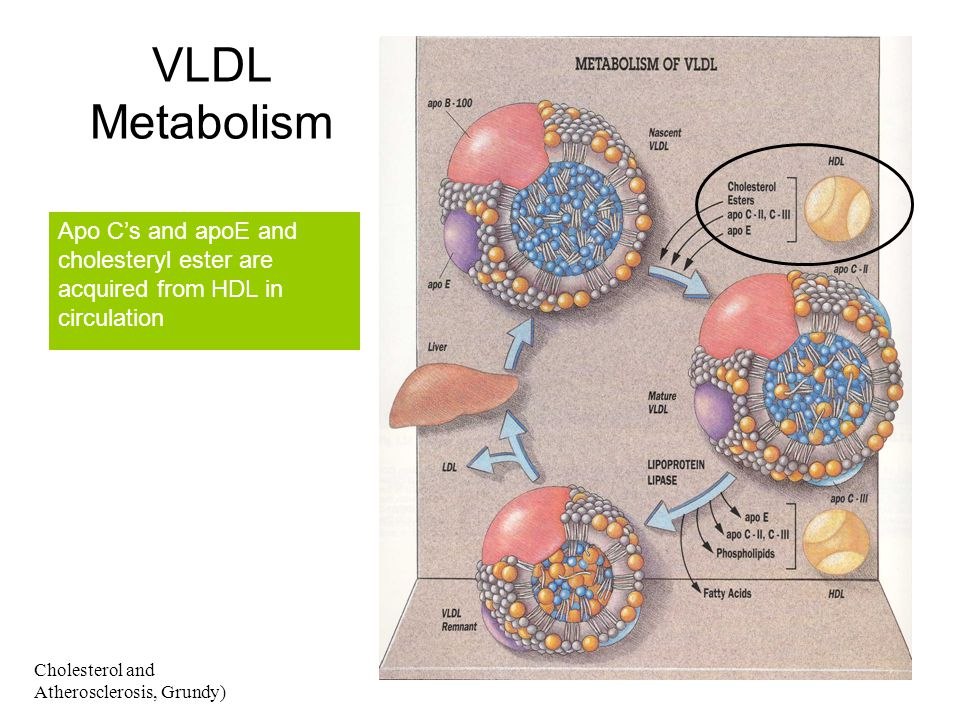 VLDL Metabolism Apo C's and apoE and cholesteryl ester are acquired from HDL in circulation.