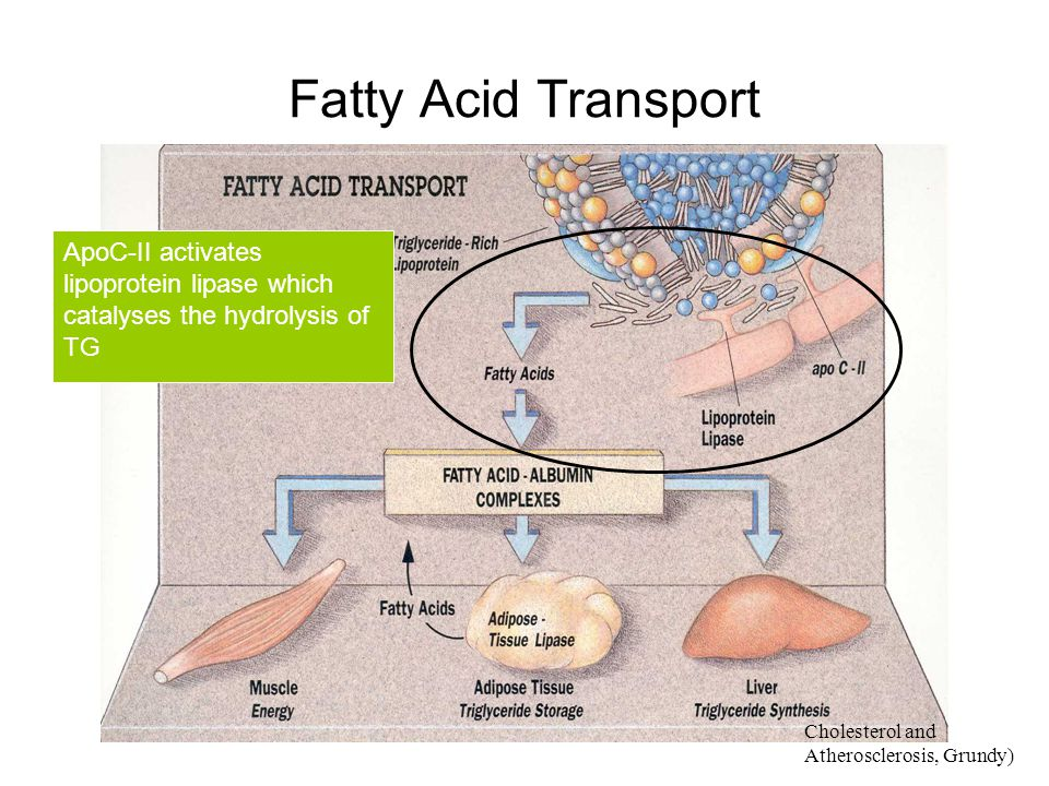 Fatty Acid Transport ApoC-II activates lipoprotein lipase which catalyses the hydrolysis of TG.