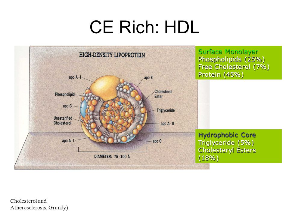 CE Rich: HDL Surface Monolayer Phospholipids (25%)