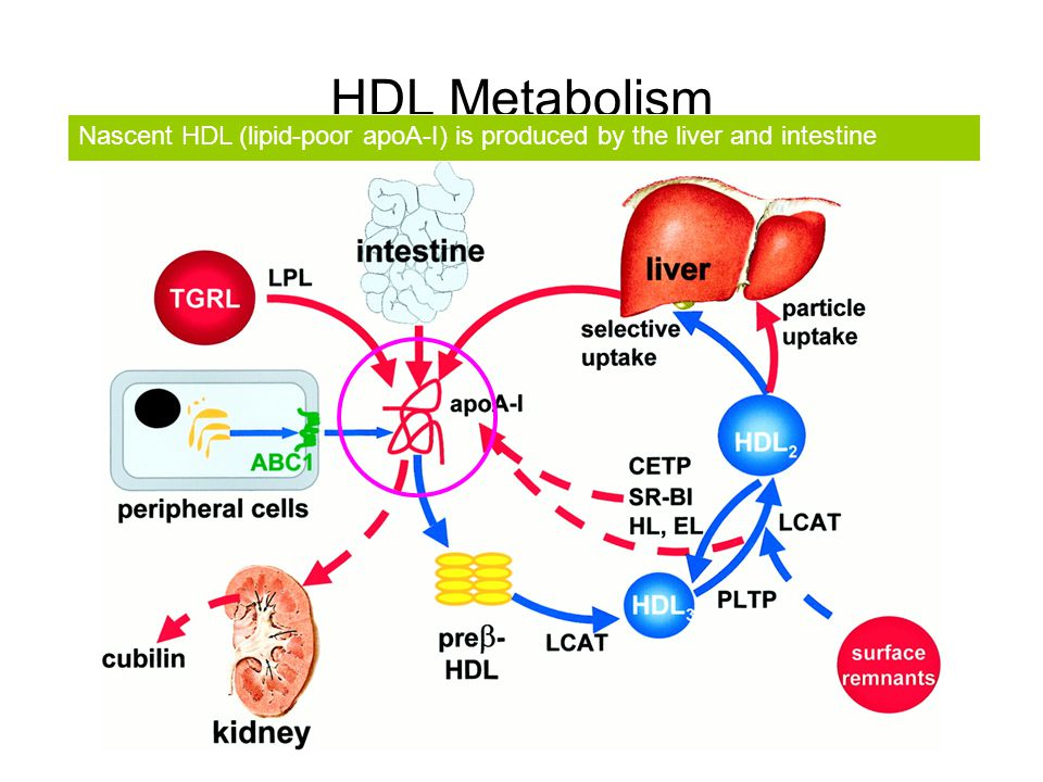 HDL Metabolism Nascent HDL (lipid-poor apoA-I) is produced by the liver and intestine.