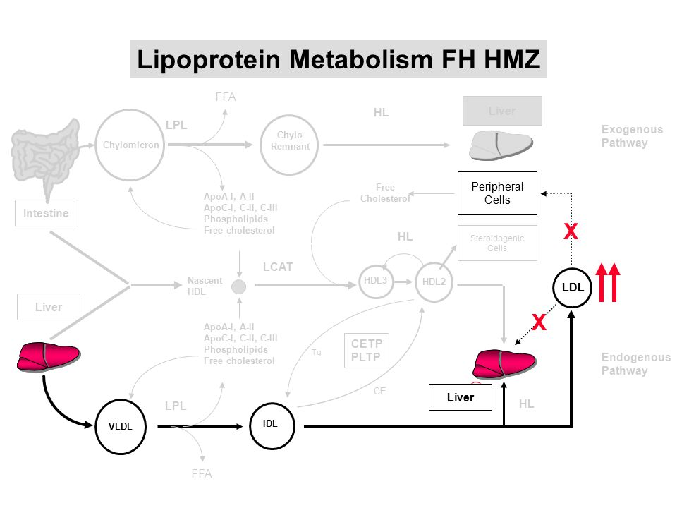 Lipoprotein Metabolism FH HMZ
