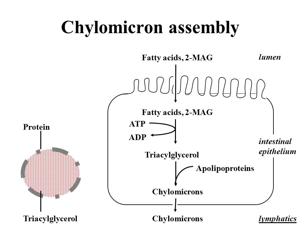 Chylomicron assembly Fatty acids, 2-MAG lumen ATP Protein ADP