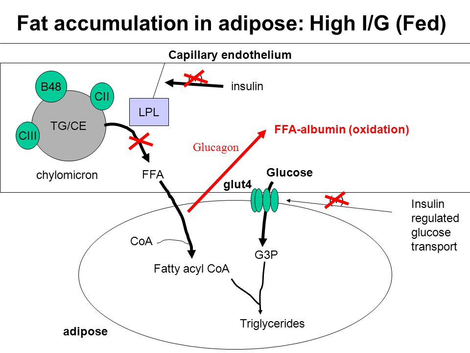 Fat accumulation in adipose: High I/G (Fed)