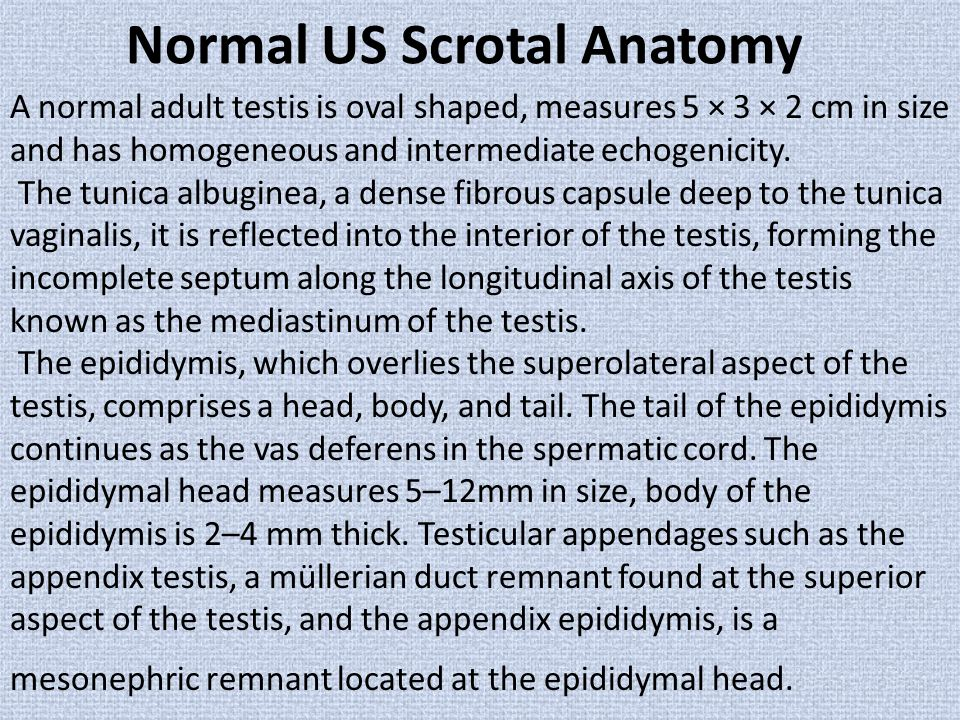 Normal US Scrotal Anatomy