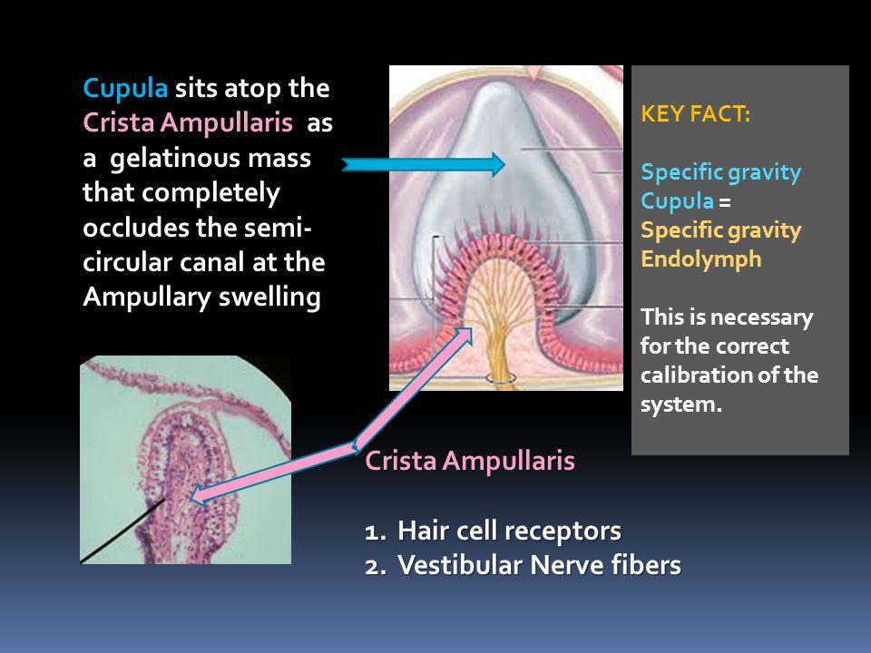 Vestibular Nerve fibers