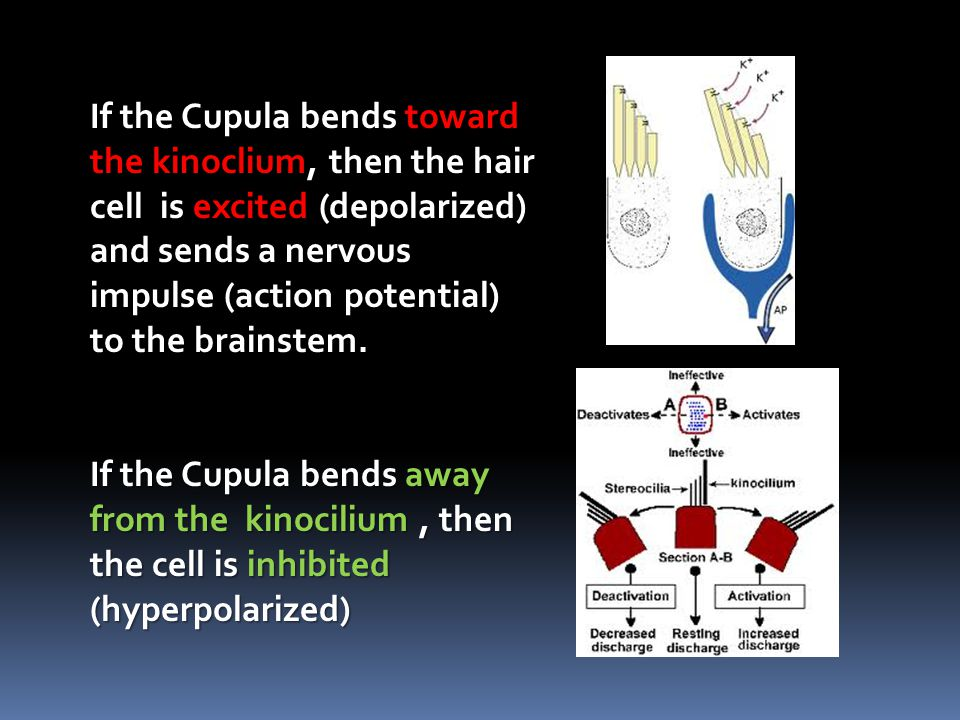 If the Cupula bends toward the kinoclium, then the hair cell is excited (depolarized) and sends a nervous impulse (action potential) to the brainstem.