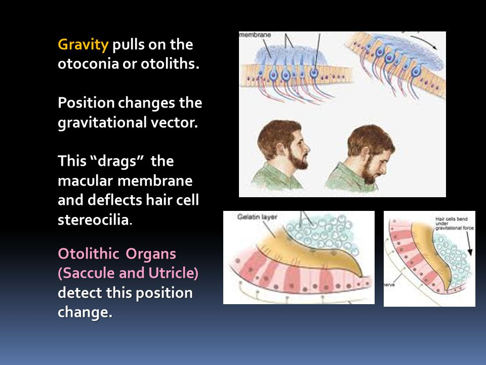 Gravity pulls on the otoconia or otoliths.