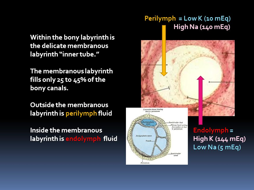 Perilymph = Low K (10 mEq) High Na (140 mEq) Within the bony labyrinth is the delicate membranous labyrinth inner tube.