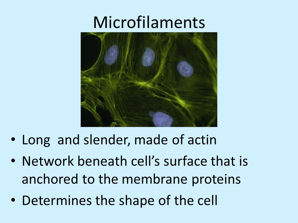 Microfilaments Long and slender, made of actin