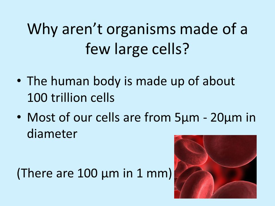 Why aren't organisms made of a few large cells