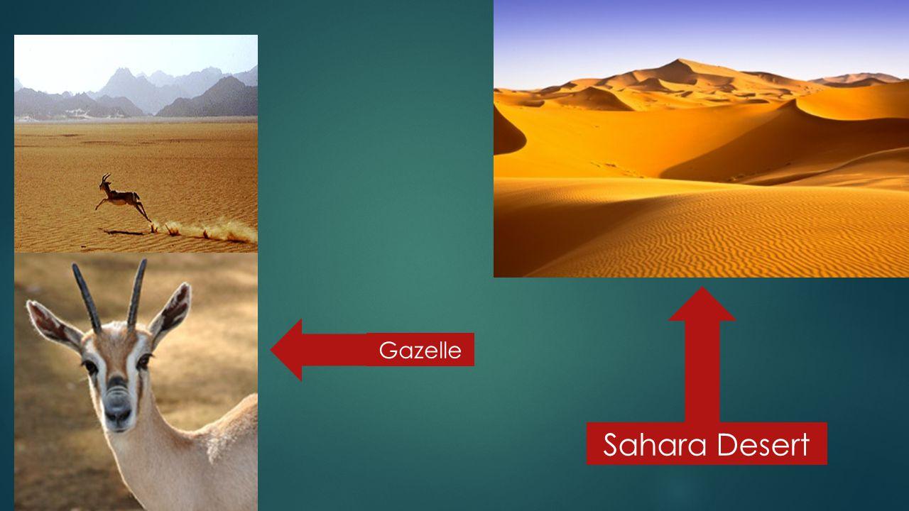 Gazelle Sahara Desert