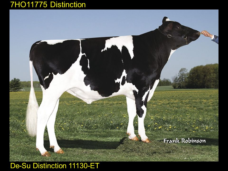 7HO11775 Distinction De-Su Distinction 11130-ET