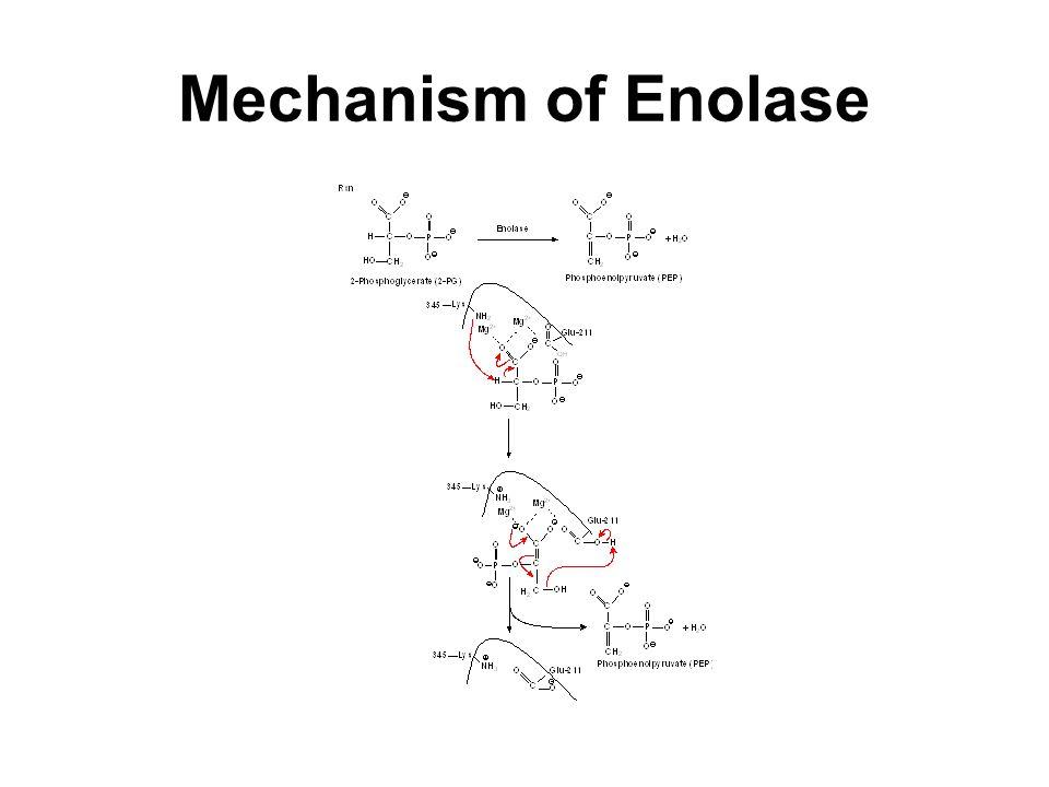 Mechanism of Enolase