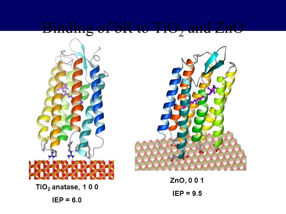 Binding of bR to TiO2 and ZnO