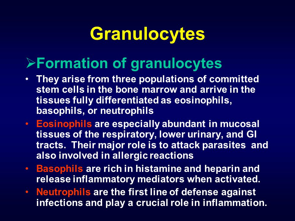 Granulocytes Formation of granulocytes