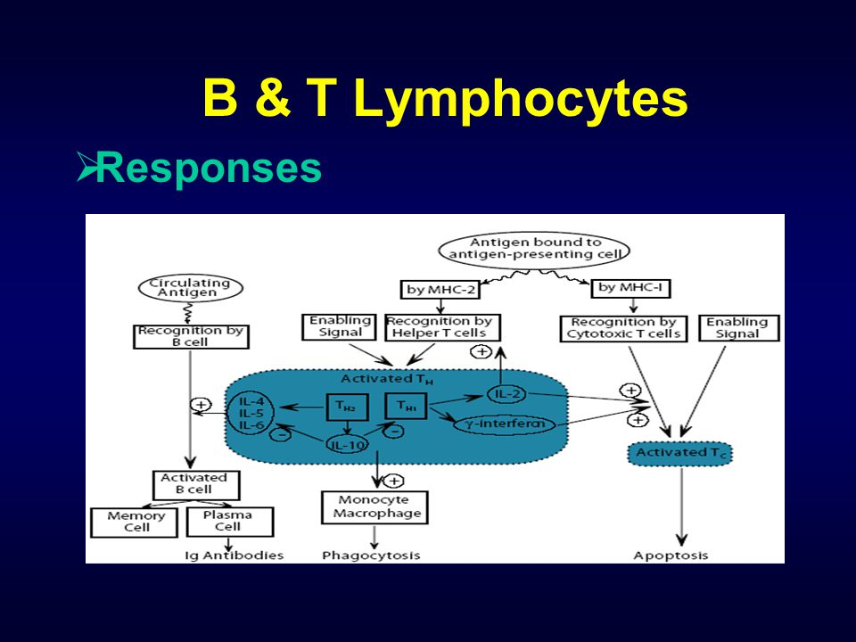 B & T Lymphocytes Responses