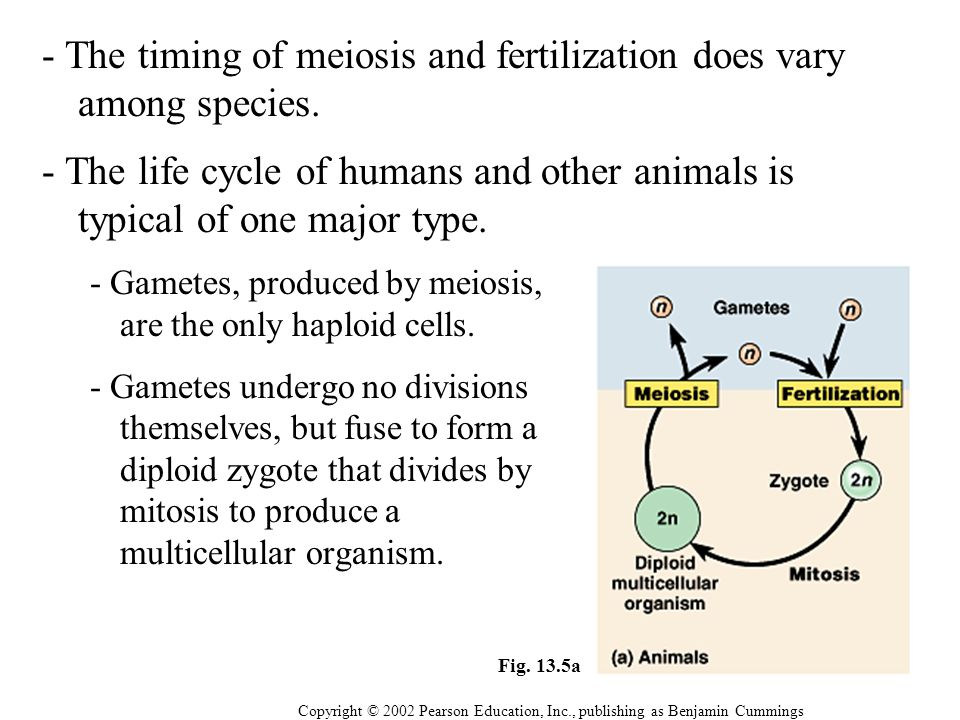 - The timing of meiosis and fertilization does vary among species.