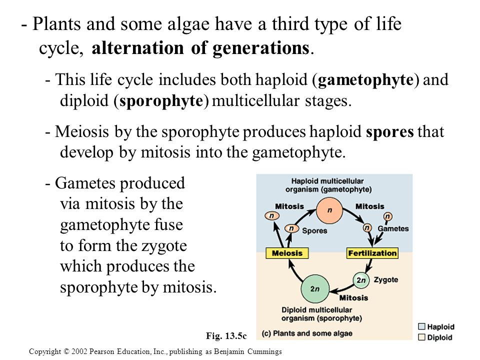 - Plants and some algae have a third type of life cycle, alternation of generations.