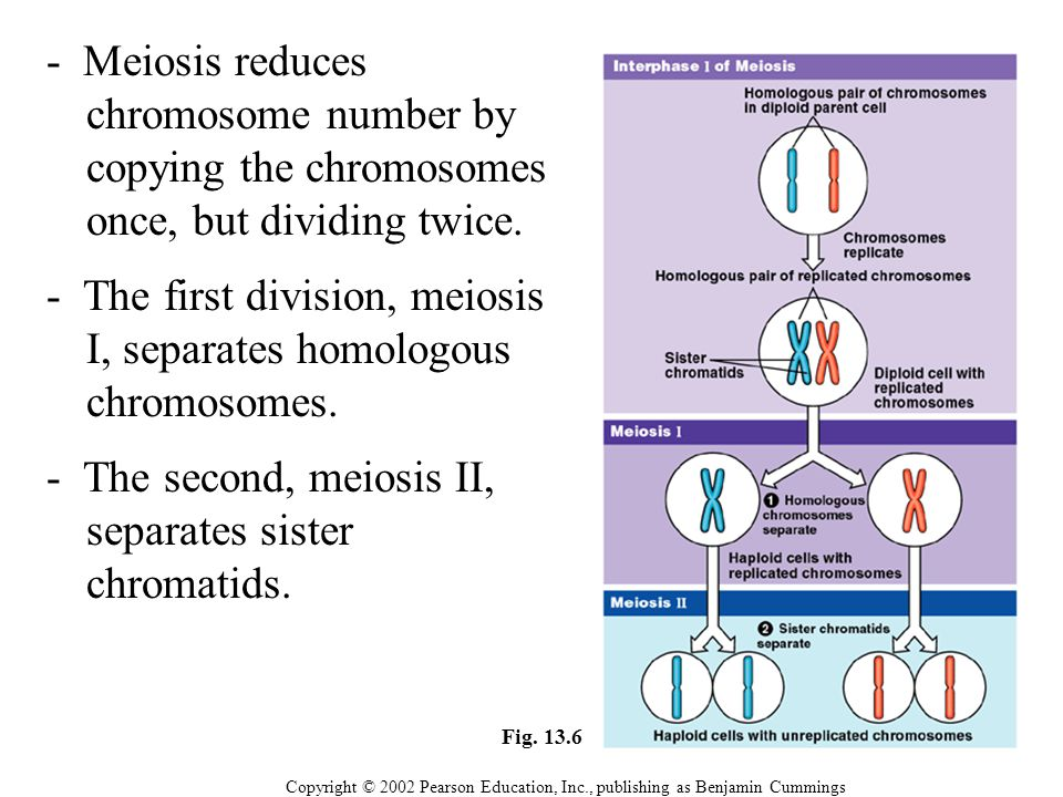 - The first division, meiosis I, separates homologous chromosomes.