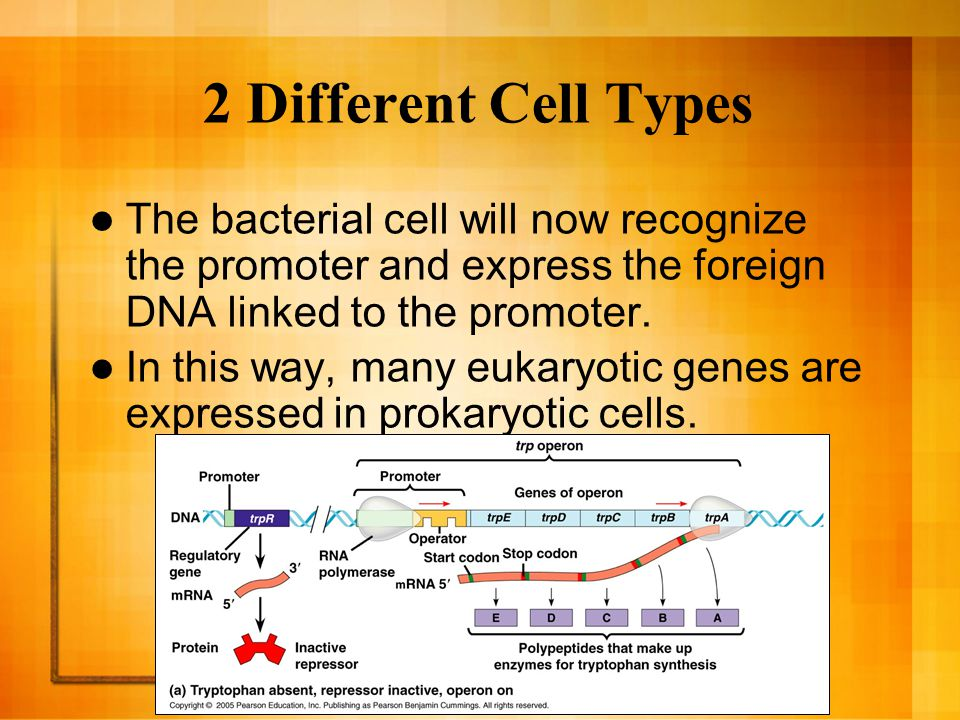 2 Different Cell Types The bacterial cell will now recognize the promoter and express the foreign DNA linked to the promoter.