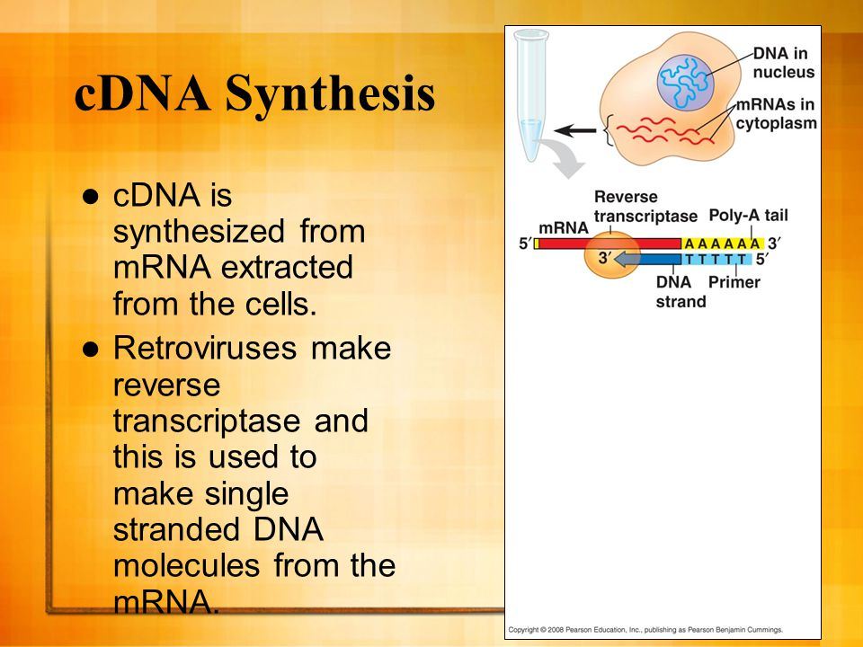 cDNA Synthesis cDNA is synthesized from mRNA extracted from the cells.