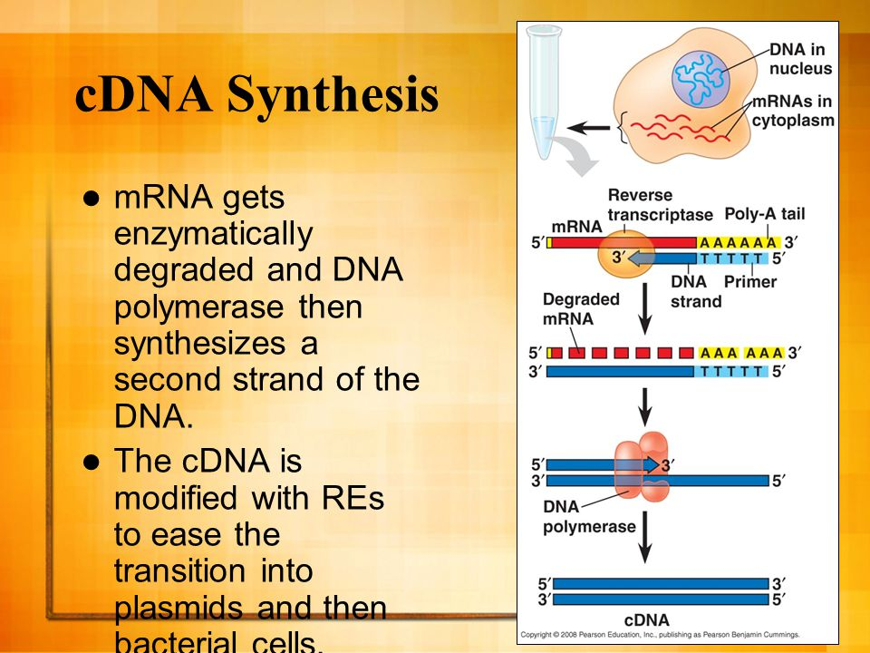 cDNA Synthesis mRNA gets enzymatically degraded and DNA polymerase then synthesizes a second strand of the DNA.