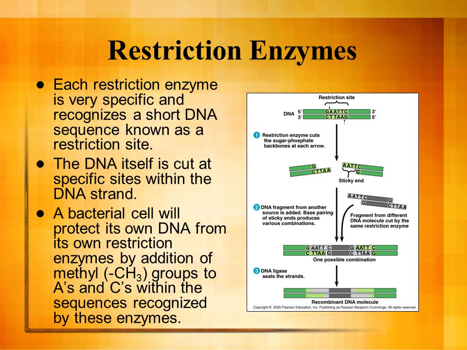 Restriction Enzymes Each restriction enzyme is very specific and recognizes a short DNA sequence known as a restriction site.
