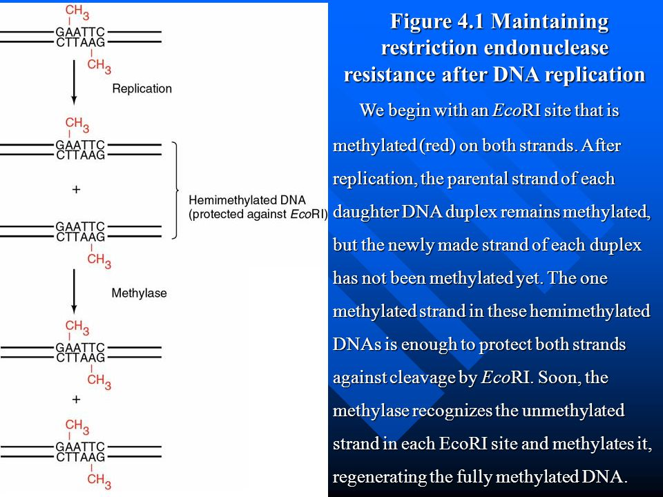 Figure 4.1 Maintaining restriction endonuclease resistance after DNA replication