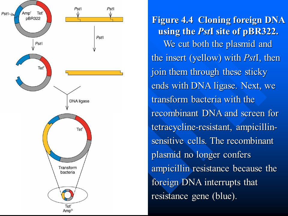 Figure 4.4 Cloning foreign DNA using the PstI site of pBR322.