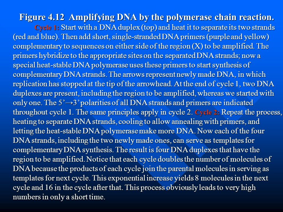 Figure 4.12 Amplifying DNA by the polymerase chain reaction.
