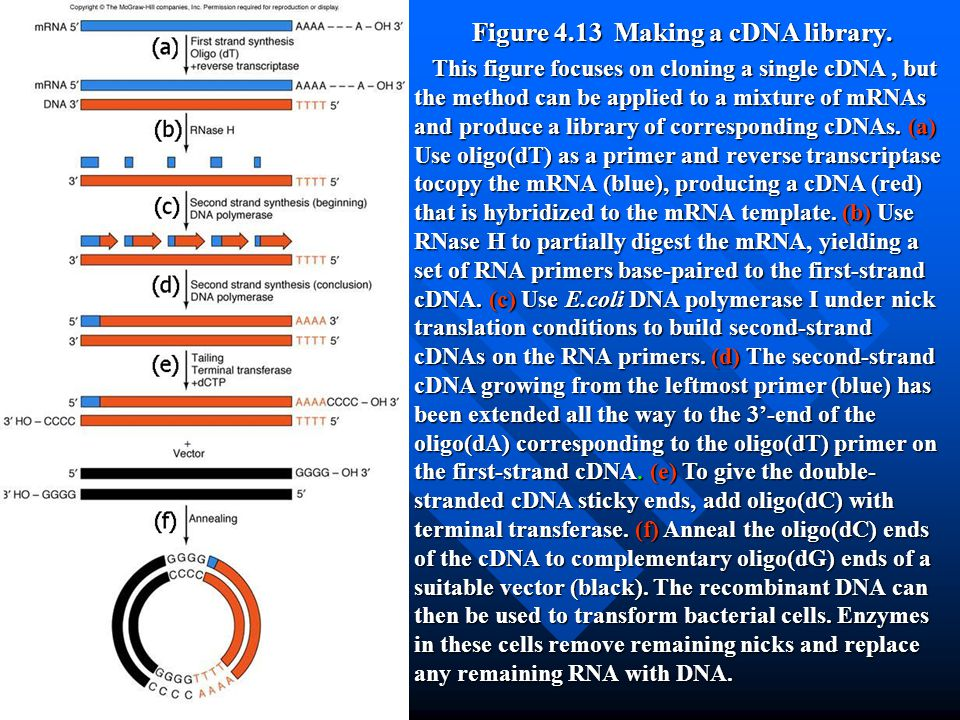 Figure 4.13 Making a cDNA library.