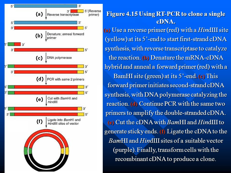 Figure 4.15 Using RT-PCR to clone a single cDNA.