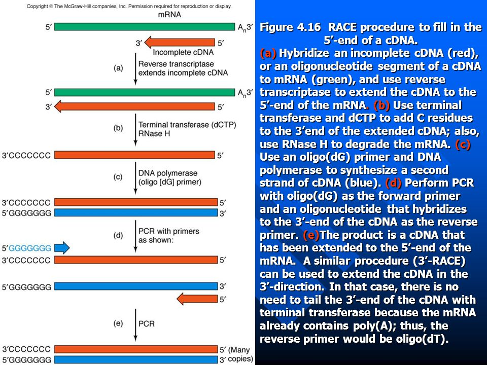 Figure 4.16 RACE procedure to fill in the 5'-end of a cDNA.