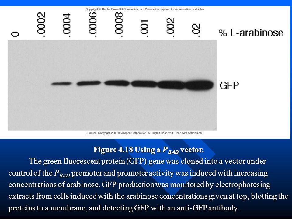 Figure 4.18 Using a PBAD vector.