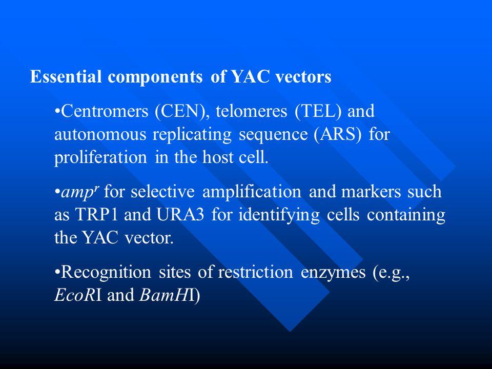 Essential components of YAC vectors