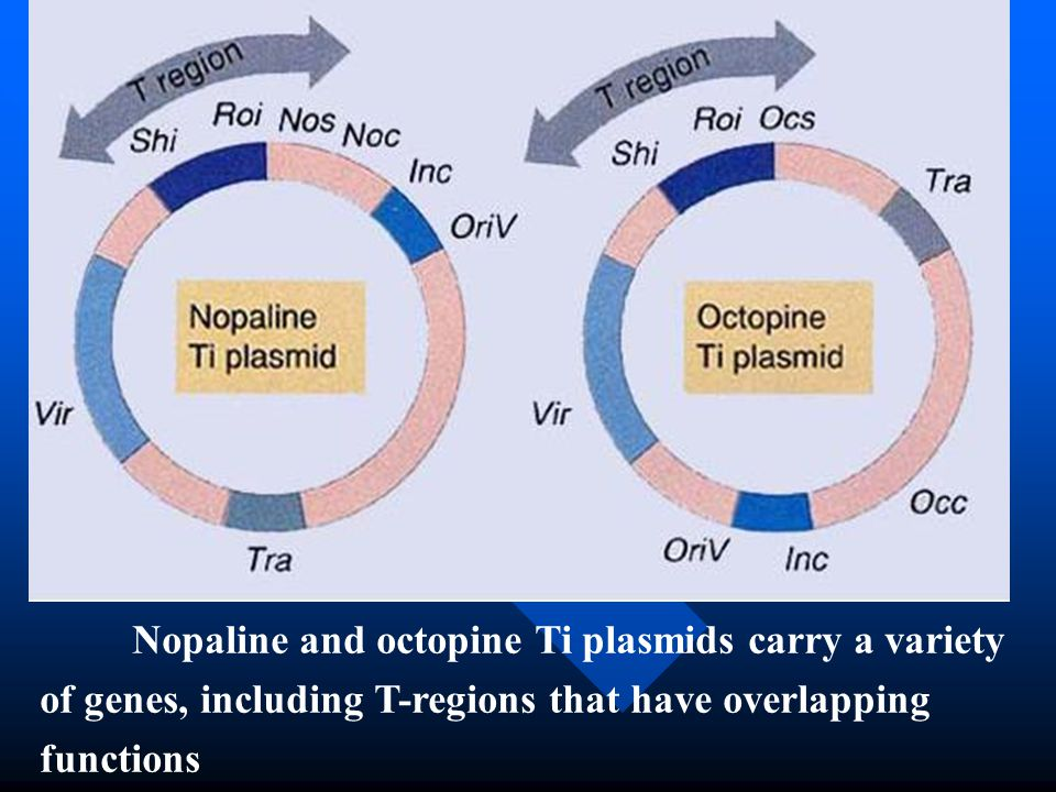 Nopaline and octopine Ti plasmids carry a variety of genes, including T-regions that have overlapping functions