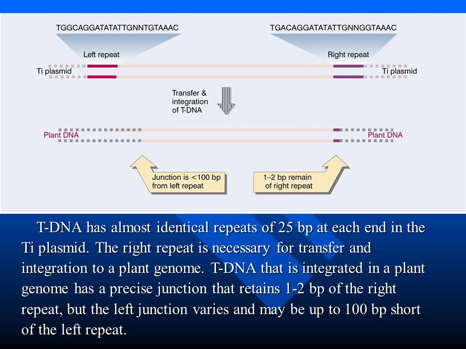 T-DNA has almost identical repeats of 25 bp at each end in the Ti plasmid.