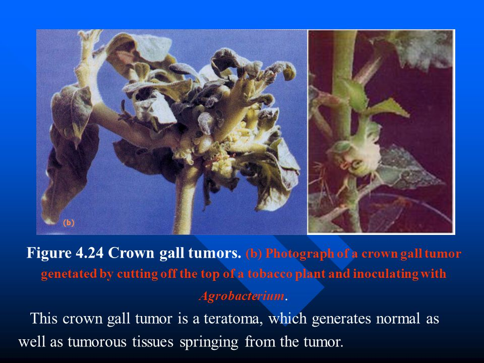 Figure 4. 24 Crown gall tumors