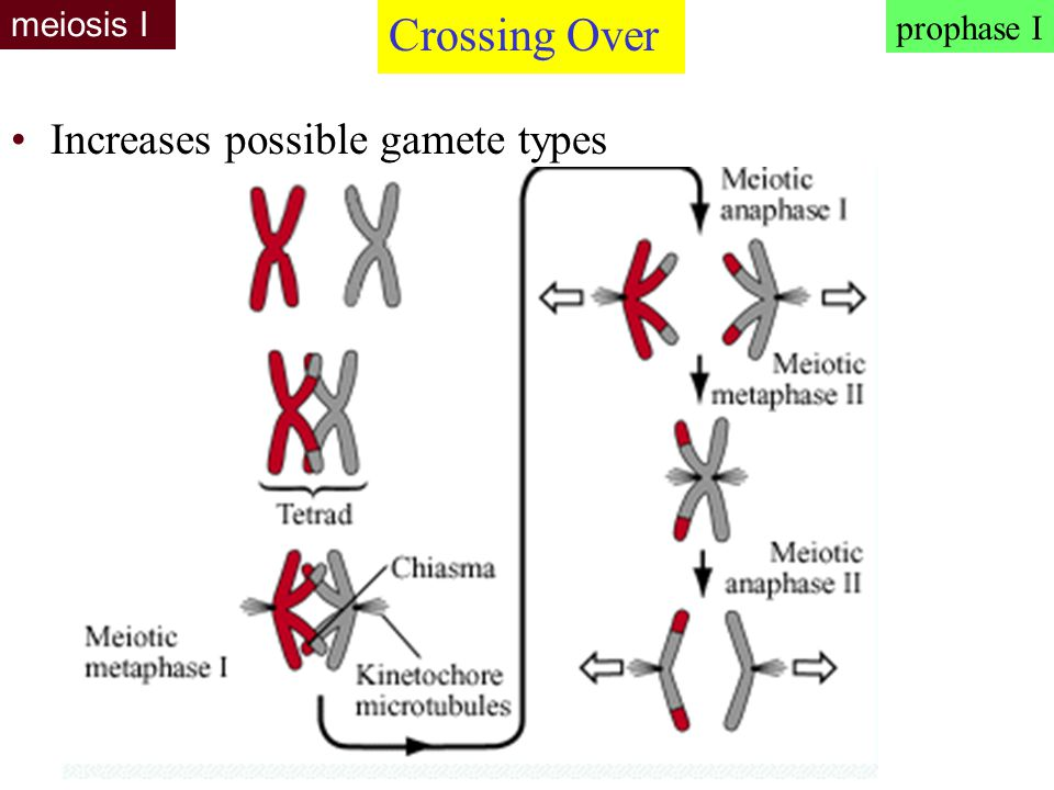 meiosis I Crossing Over prophase I Increases possible gamete types