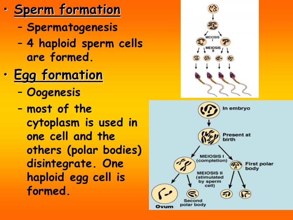 Sperm formation Egg formation Spermatogenesis