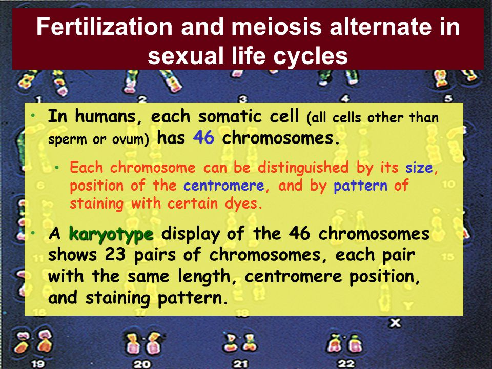 Fertilization and meiosis alternate in sexual life cycles