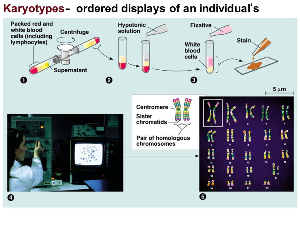 Karyotypes- ordered displays of an individual's chromosomes.