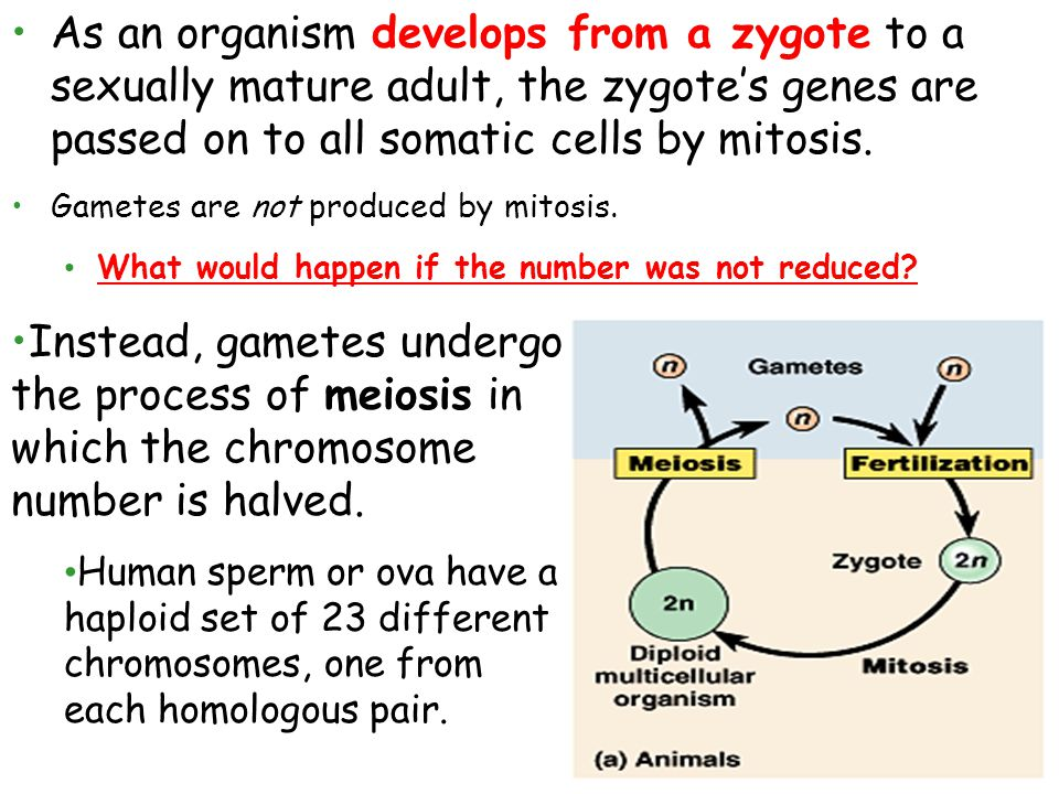 As an organism develops from a zygote to a sexually mature adult, the zygote's genes are passed on to all somatic cells by mitosis.