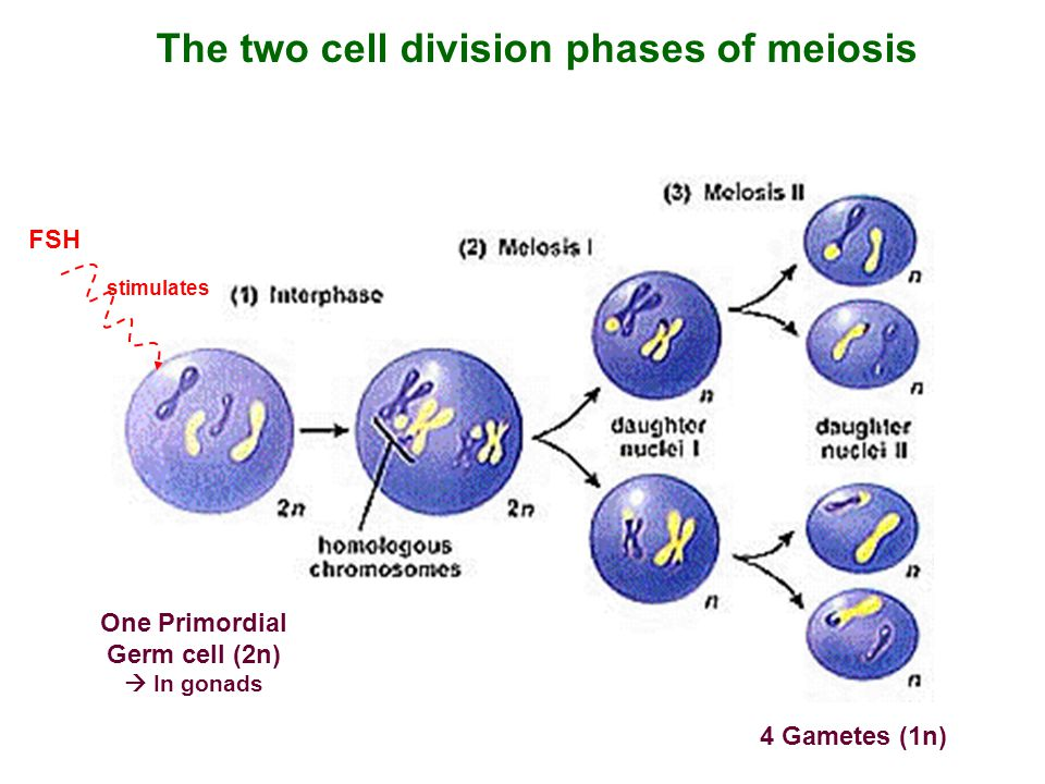 The two cell division phases of meiosis
