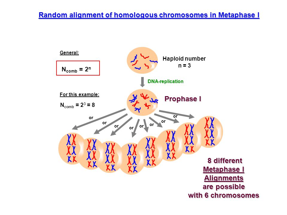 8 different Metaphase I Alignments are possible with 6 chromosomes