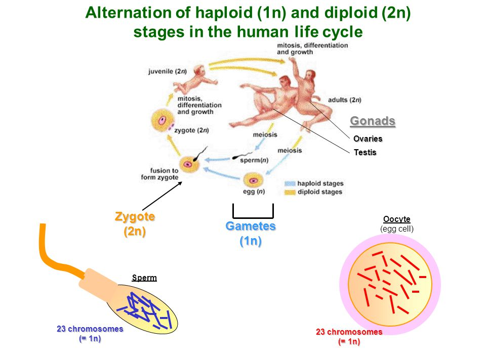 Alternation of haploid (1n) and diploid (2n)