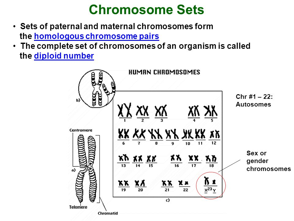 Chromosome Sets Sets of paternal and maternal chromosomes form the homologous chromosome pairs.